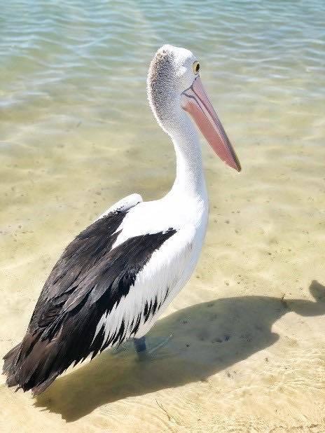 Pelican Taronga Zoo photo