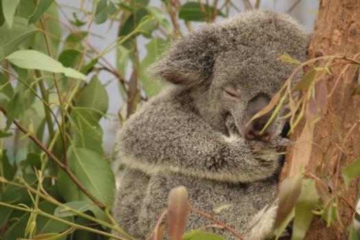 Koala 2031492 1920