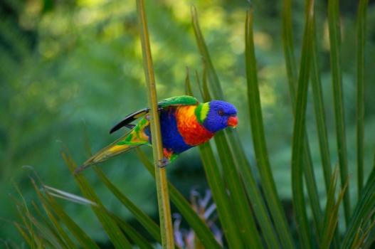 Rainbow Lorikeet 411541 1920