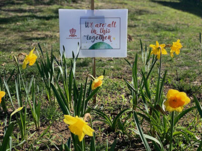 All in this together, daffodils