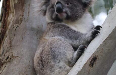 Koala Otways