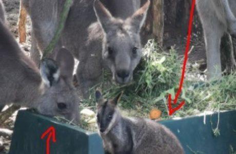 Andre Nash Kangaroo Meme 29 Apr2020
