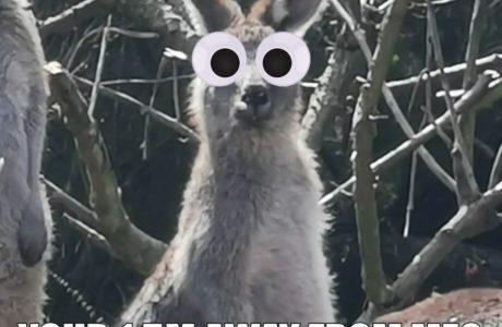 Jasper Alves Geisler Kangaroo Memes 29 Apr2020