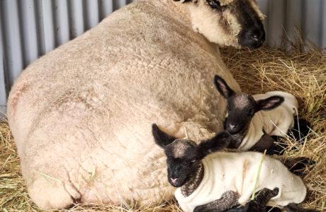 Farm Babies 4