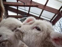 Farm Babies 5